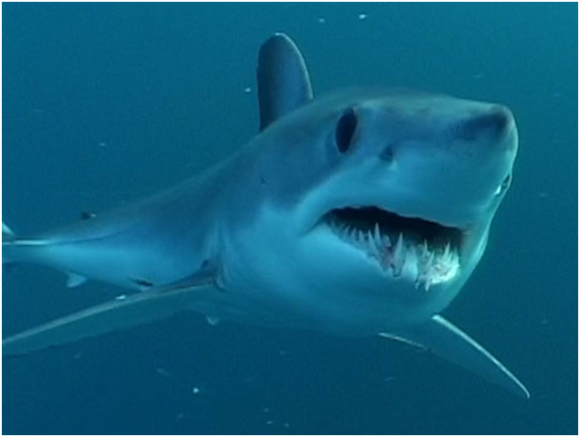 Mako Shark Fly Fishing (creative commons)