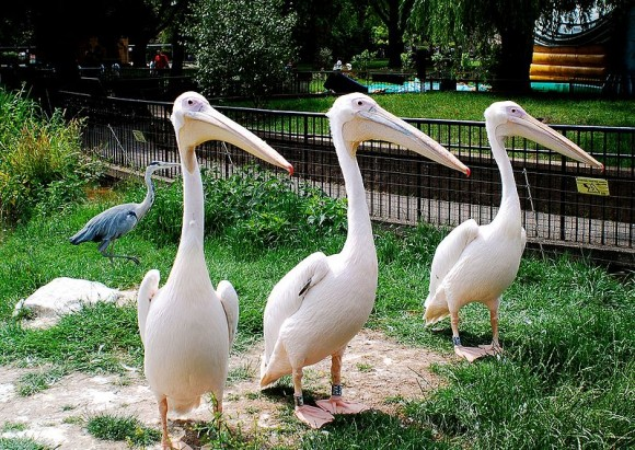 Great White Pelicans at London Zoo by Steph Laing (creative commons)