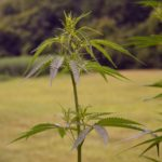 How These US States Are Dealing with the Legalization of Marijuana